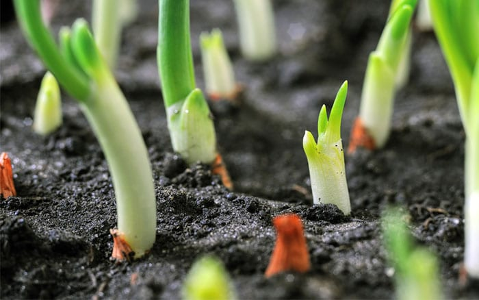 onion-sets-sprouting