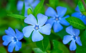 periwinkle-vinca-ground-cover-for-shade