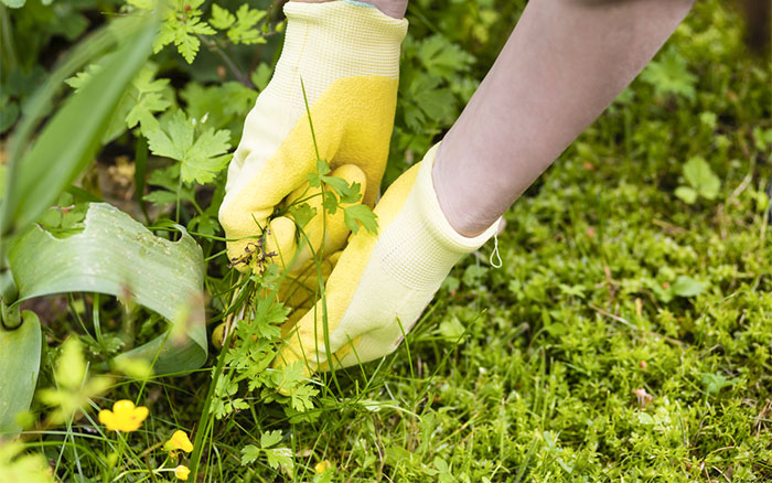 weed or flower gardeners can t recognise common weeds