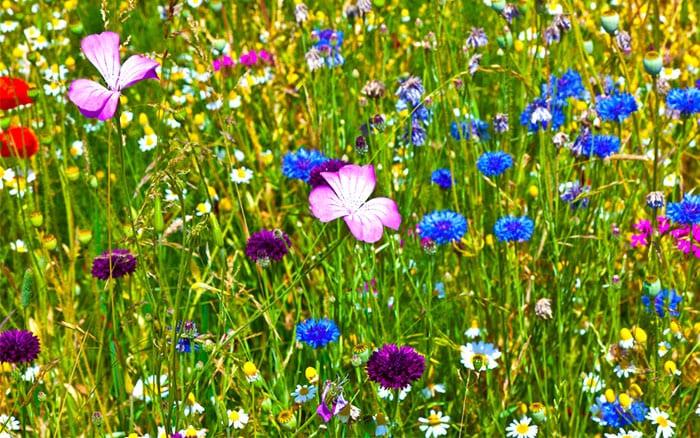 How to grow a colourful wildflower meadow in the garden