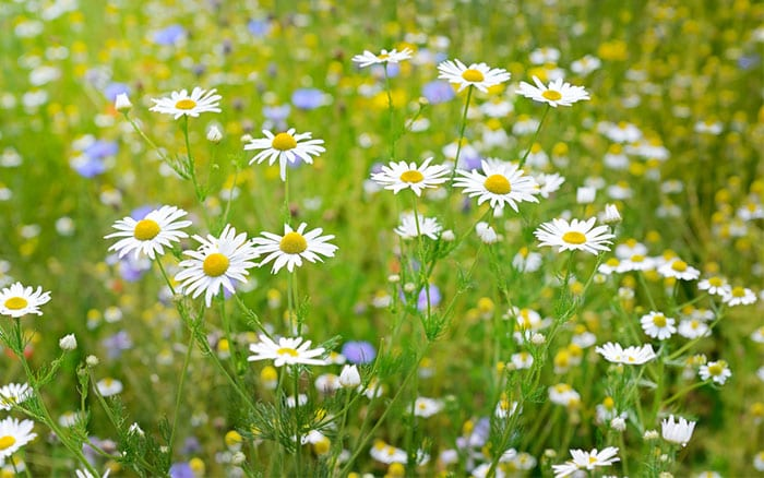 What you need to do today about growing a wildflower Where did daisies originate