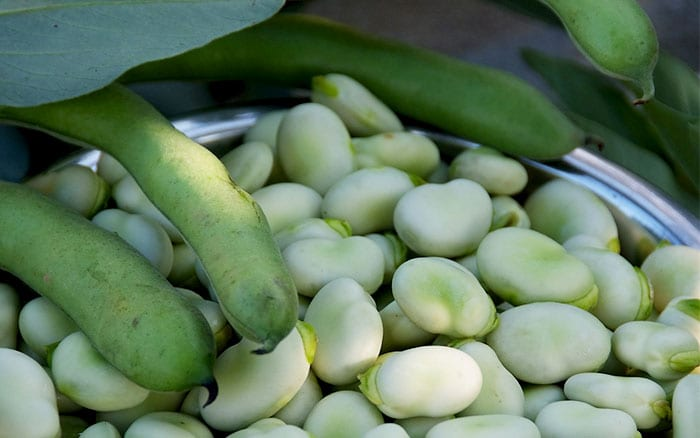 broad-beans how to grow your own bean plants