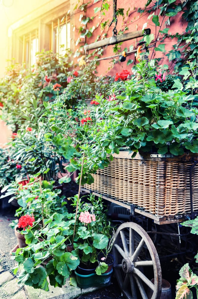 Gorgeous container garden in a wicker and wood cart surrounded by pots planted with pelargoniums - so romantic. The best container gardens