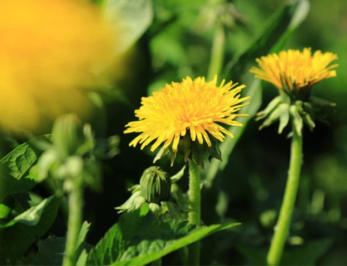 Weed or flower? Why gardeners should mind what they dig up