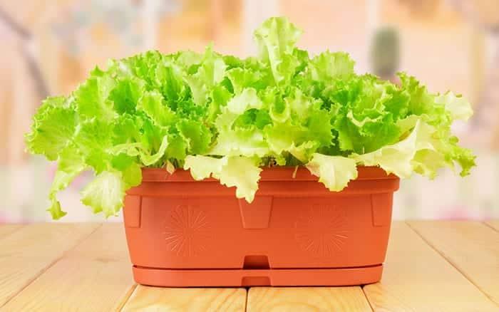 salad-leaves-lettuce-in-a-pot