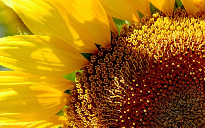 Gardening Advice How To Grow Sunflowers At Home