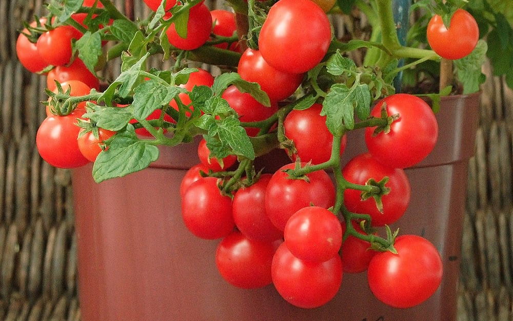 You Can Grow Tomatoes In Pots Growbags And Even Hanging Baskets Bush Or Trailing Varieties Are Best For Containers Plant Young Plants Large