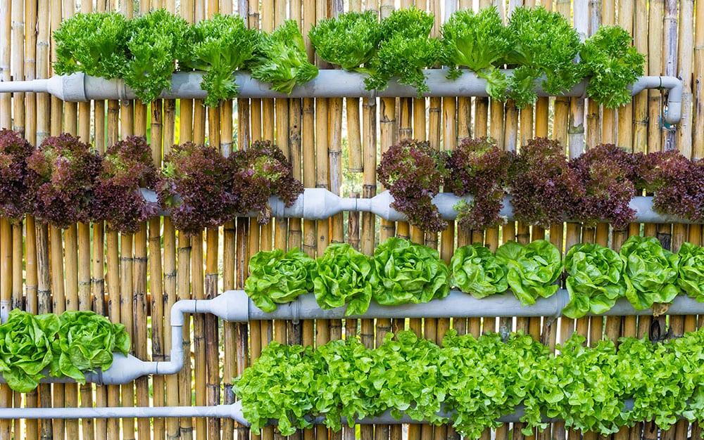 vertical-lettuce-garden