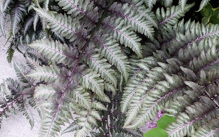 athyrium-niponicum-var-pictum