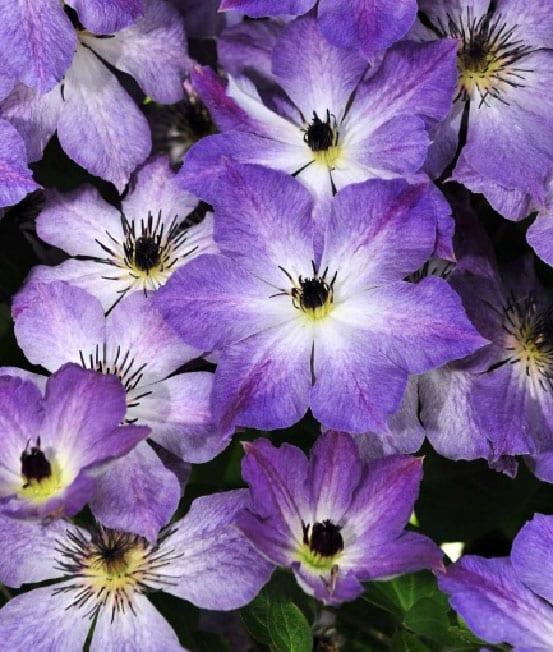 Chelsea Flower Show The 8 Best New Plant Varieties