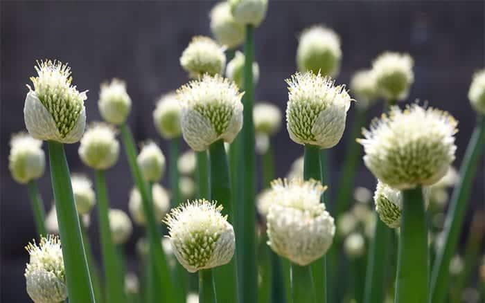 Onion flowers. akiyoko/Shutterstock.com