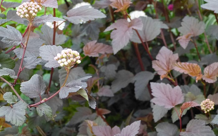 physocarpus-lady-in-red