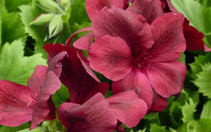regal-pelargonium-aldwyck
