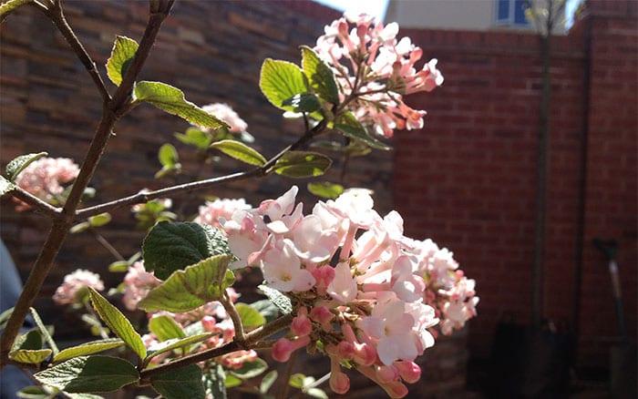 9-viburnum-plant-list-love-your-garden