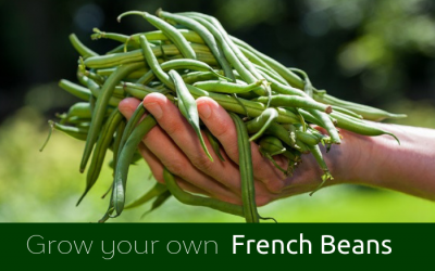 GYO French Beans