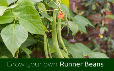 GYO Runner Beans