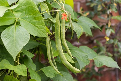 Runner beans growing on the plant