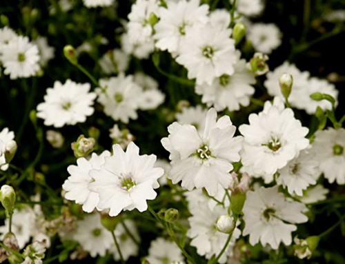 White garden: The best plants to create a white border