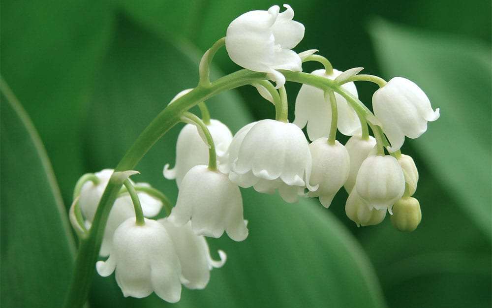 lily-of-the-valley-happy-plant