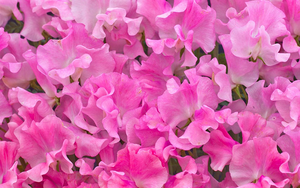 Pink sweet peas flowering in the garden - how to grow sweet peas