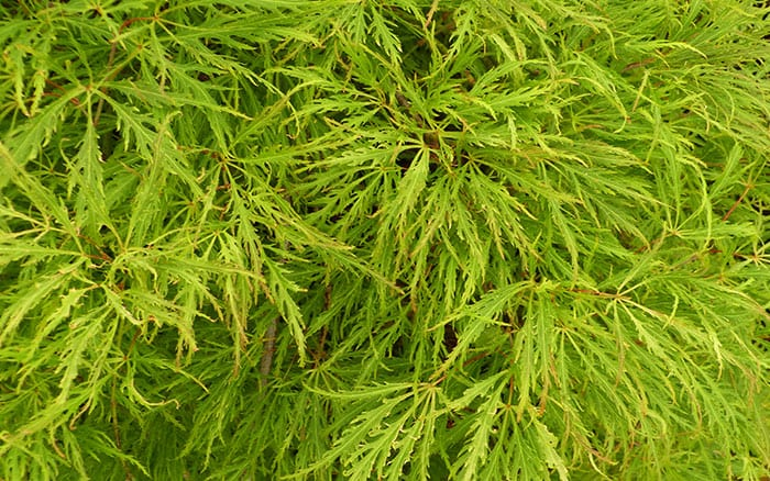 acer-palmatum-dissectum-sunset plants for texture