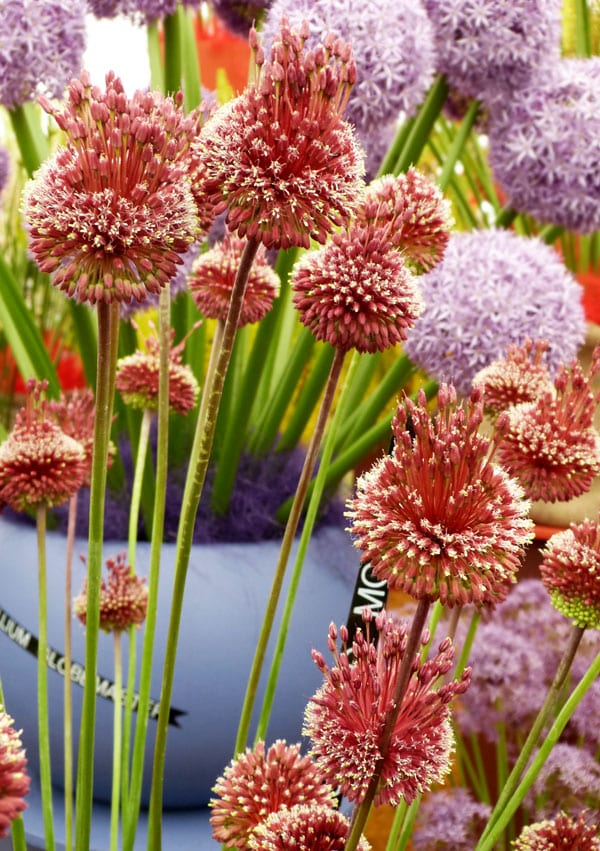 allium-red-mohican unusual plants texture