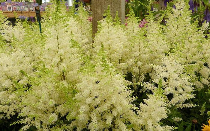astilbe-deutschland white astilbe plants