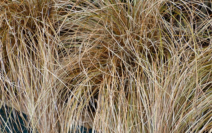 carex-comans-bronze red sedge grass