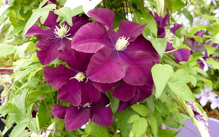 clematis-warsaw-nike best purple plants