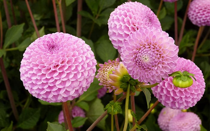 The 14 best pink plants for a more beautiful garden dahlia franz kafka pink flowers for cutting mightylinksfo