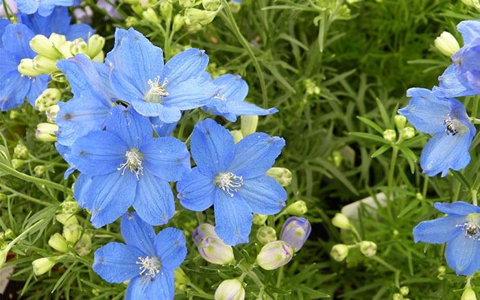 delphinium-grandiflora-delfix-bleu blue flowers