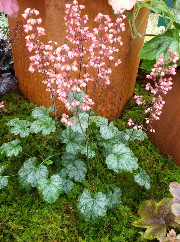 heuchera-paris pink coral bells