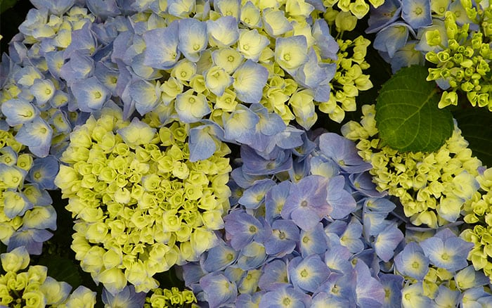 hydrangea-bodensee plants with blue flowers