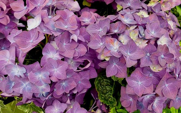 hydrangea-deep-purple flowers
