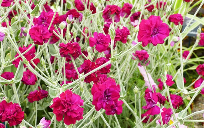 lychnis-coronaria-gardener's-world best pink plants