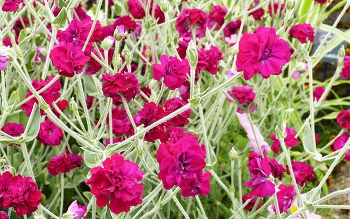 The 14 best pink plants for a more beautiful garden lychnis coronaria gardeners world best pink plants mightylinksfo