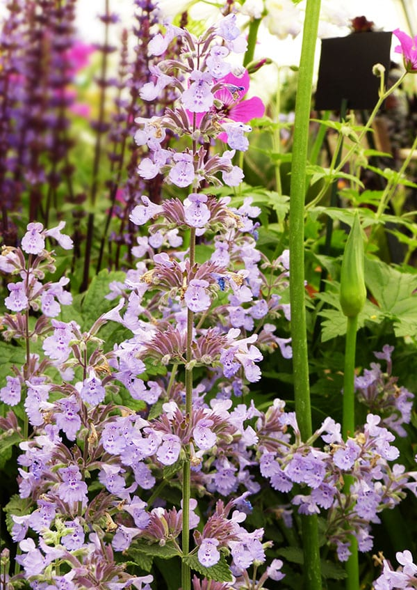 nepeta-racemosa-walker's-low