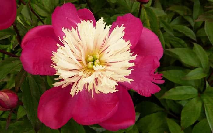 peony-lactiflora-white-cap japanese peony single open