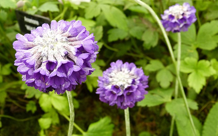 primula-capitata-novena best purple flowering plants