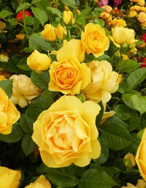 Rose Garden 15 Fabulous Rose Varieties To Grow In The Garden