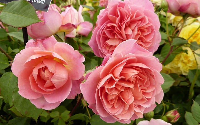 rosa-boscobel
