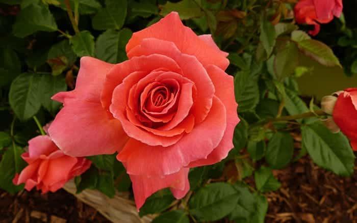 rosa-i-am-macmillan
