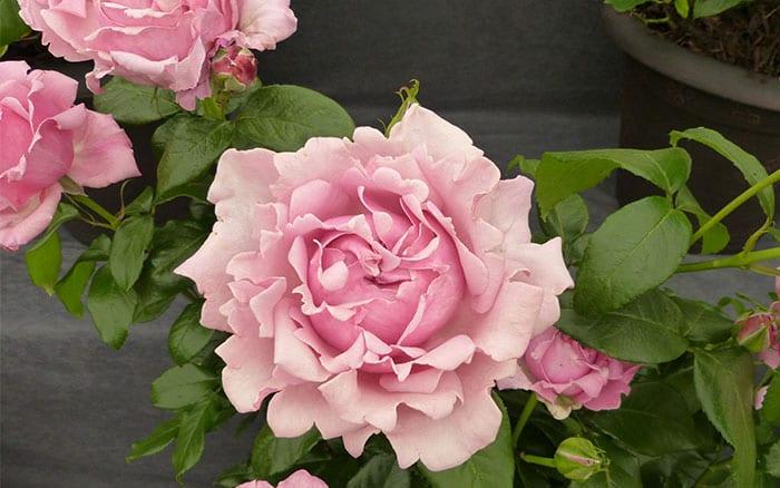 rosa-millie-rose