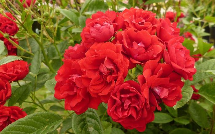 rosa-miss-edith-cavell