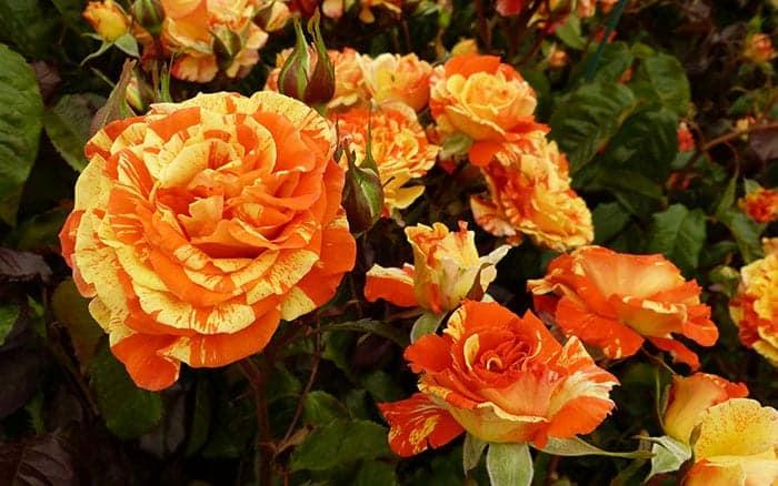 rosa-oranges-and-lemons