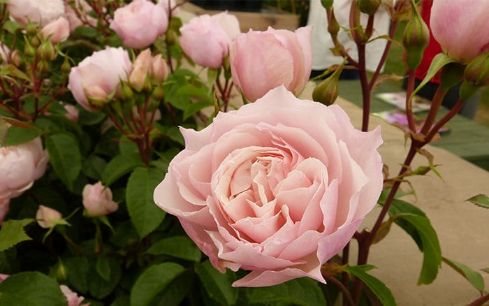 rosa-the-generous-gardener