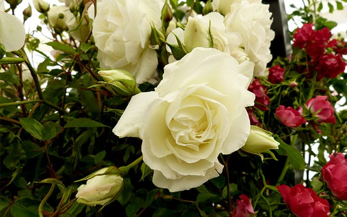 The 14 Best Pure And Beautiful White Rose Varieties