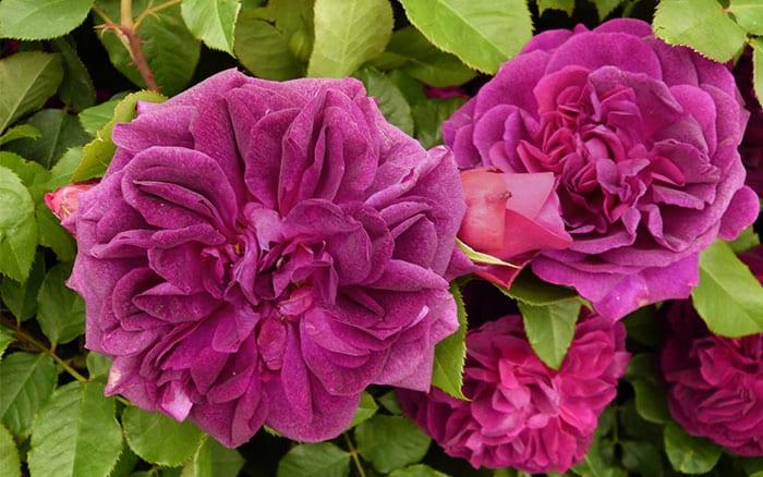rose garden 15 fabulous rose varieties to grow in the garden. Black Bedroom Furniture Sets. Home Design Ideas