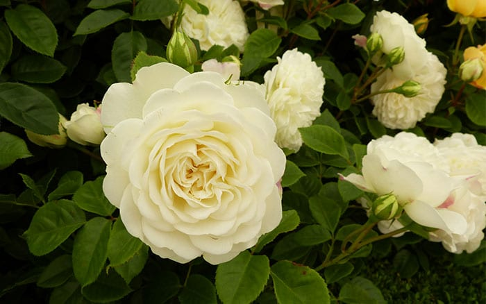 The 14 best pure and beautiful white rose varieties rose tranquillity pure white roses mightylinksfo