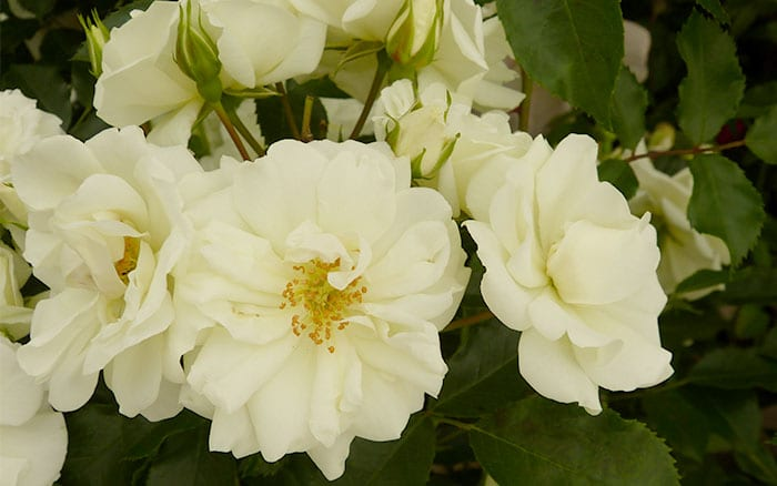 The 14 best pure and beautiful white rose varieties rose white flower carpet mightylinksfo